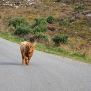 Highland Cattle in the NW Highlands of Scotland