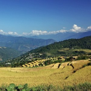 Bhutan - terraced rice fields