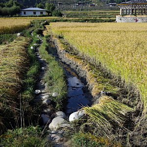 Bhutan - growing rice