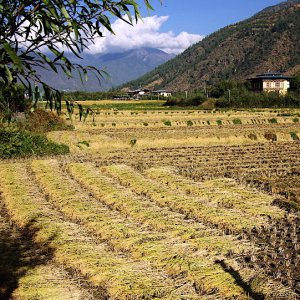 Bhutan - harvested rice