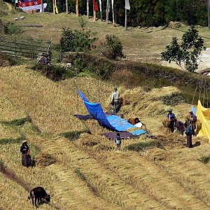 Bhutan - winnowing the harvested rice