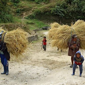 Bhutan - carrying the harvested rice back to the farmhouse