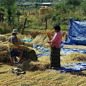 Bhutan - harvesting the rice before winnowing