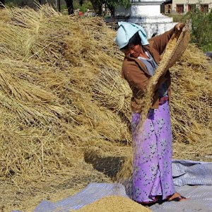 butan - winnowing the rice