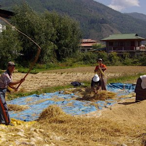 Bhutan - threshing and winnowing the rice