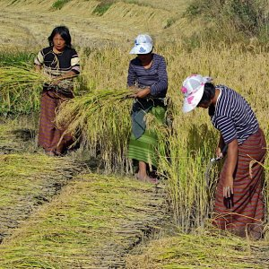Bhutan - harvesting the rice