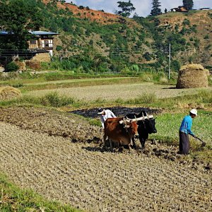 Bhutan - ploughing with oxen
