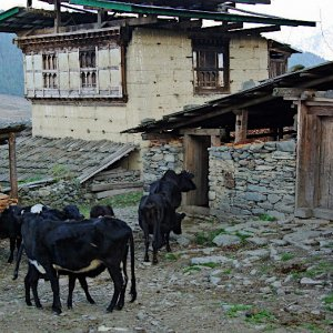 Bhutan - cows returning for the night
