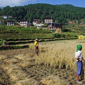 Working in the fields, Lobesa village near Chimi Lhakhang, Bhutan