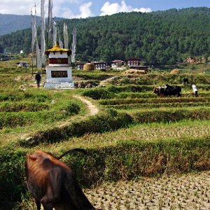 Cow grazing in harvested field, Lobesa village near Chimi Lhakhang, Bhutan