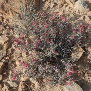 Flowers in the Negev